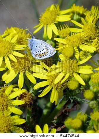 silver studded blue butterfly on ragwort flower