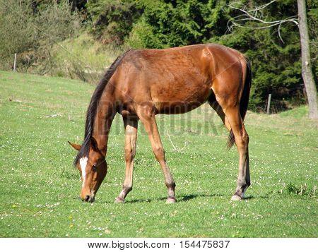 Foal grazing in a fenced meadow farms