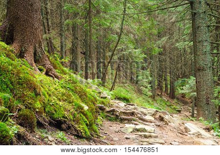 Forrest Trees With Path In The Middle And Spread Sun Rays.