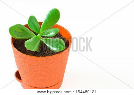 Scion Crassula (money tree) in a pot. White background.