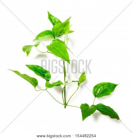 Clematis leaves with tendril. Green twig isolated on white background clipping path included. Floral design. Top view flat lay