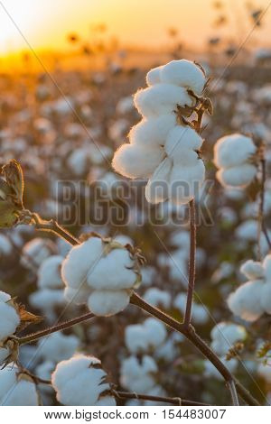 Cotton field background ready for harvest under a golden sunset macro close ups of plants  vertical tall