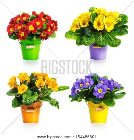 Colorful primula flowers in bucket collection isolated on white background
