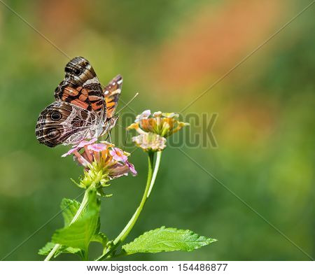 The American Painted Lady or American Lady (Vanessa virginiensis) butterfly feeding on Lantana flowers. Copy space.