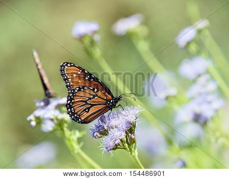 Queen butterfly (Danaus gilippus) feeding on Greggs Mistflowers (Conoclinium greggii) in the fall