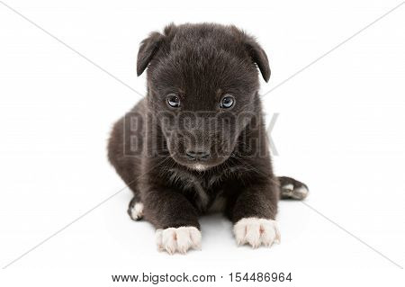 Serious black puppy with white paws isolated