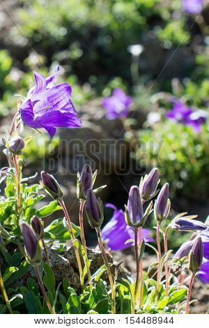 Beautiful Bellflower flowers in a nature background