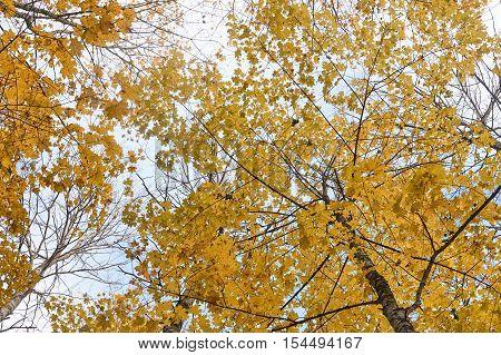 Autumn Tree Tops Against The Sky