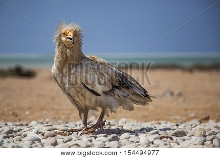 Egyptian vulture neophron percnopterus threatened in wild but abundant on an island of Socotra Yemen
