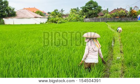 Peasants on the green rice field in Indonesia.