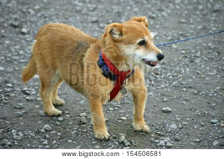 Cute panting brown and white Yorkshire X Jack Russell terrier mongrel with a blue collar and red harness on a blue lead. Stood on a gravel surface which forms the background.