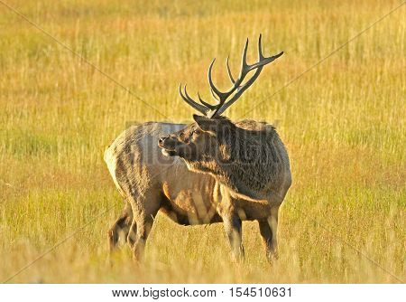 Wild Bull Elk in the Grass at Early Morning Light