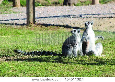Gökyüzünde gördükleri bir nesneyi merakla izleyen sevimli Lemurlar