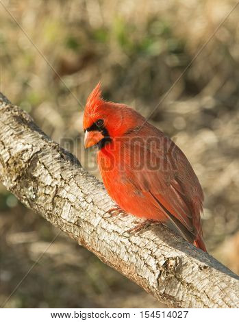 Beautiful Northern Cardinal sitting on a tree limb