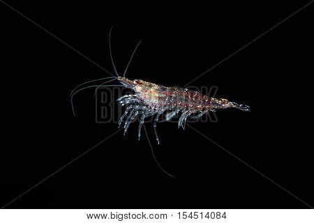 Krill. Red shrimp. Krill. Red shrimp underwater.