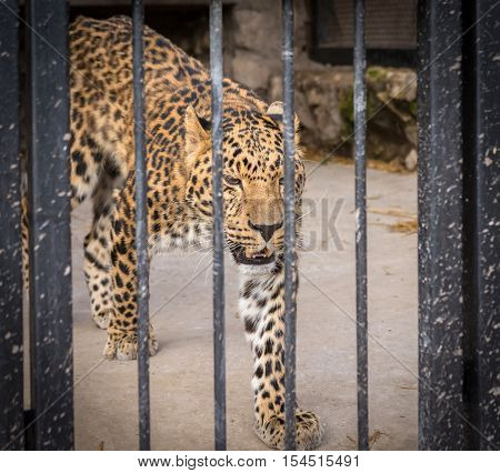 huge menacing leopard look across the cage close-up