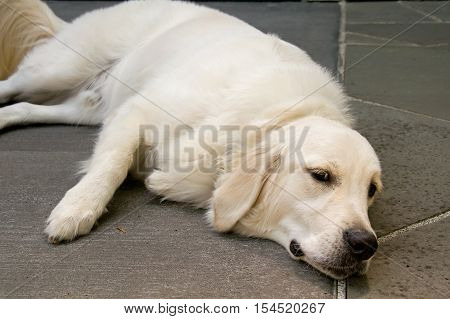 English golden retriever dog, lying down, yet awake.  Horizontal pet image