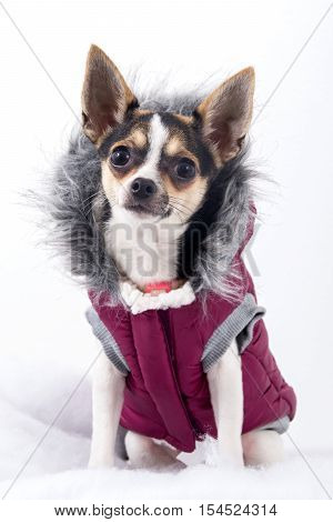 cute chihuahua dog female with winter coat