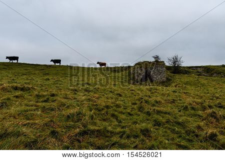 Cattle and lime kiln at Draycott Sleights National Nature Reserve. Cows against grey sky in front of limestone grassland in the Mendip Hills in Somerset England UK