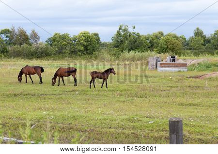 Two horses and a foal graze in the meadow