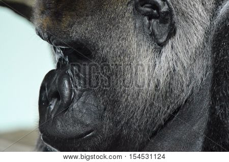 The face of a western lowland gorilla