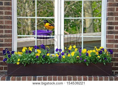 Baltimore oriole on purple dish in window with pansies in flower box