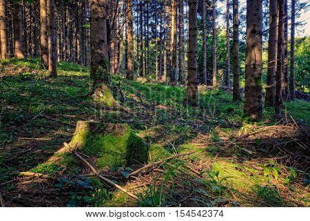 View of Spruce forest in Kocevski Rog called also Kocevje Rog Slovenia poster