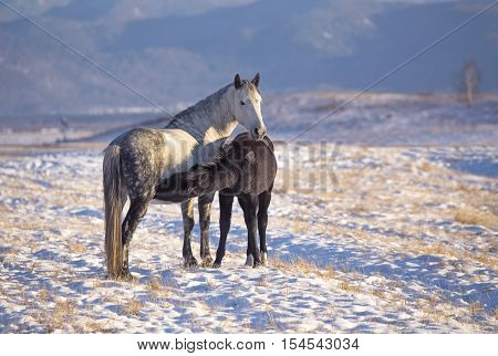 Horse foal suckling from mare in in a snowy meadow in winter time. Russia Altai Siberia