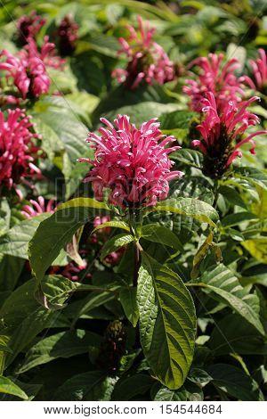 Beautiful Brazilian Blume flowers in nature background