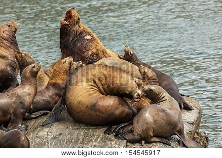 Rookery Steller sea lions. Island in the Pacific Ocean near Kamchatka Peninsula.