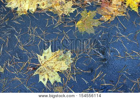 Autumn background. Texture of wet black asphalt with yellow fir needles and maple leaves.