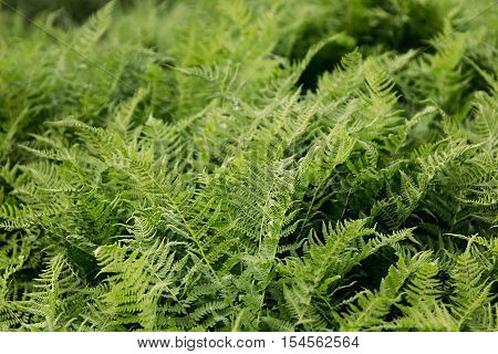 Rich green fern closeup. Floral fern background.