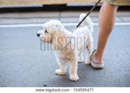 White Bolognese Dog In The Street