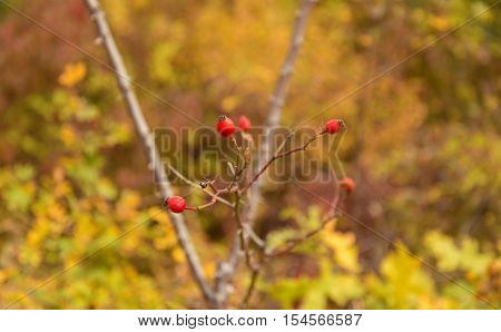 Red Rosehips Closeup In Autumn