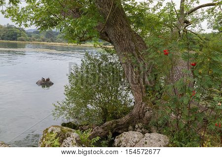 Tree and Ducks on the shore of Lake WIndermere in Ambleside Cumbria UK