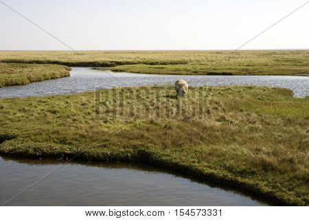 Landscape with grazing sheep between the dike on Mando Wadden Sea and with a shadow of Ribe in the background Denmark.