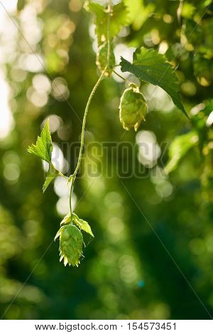 Closeup of ripe hop cones in the hop field with sun beam backlit. Beer production material.