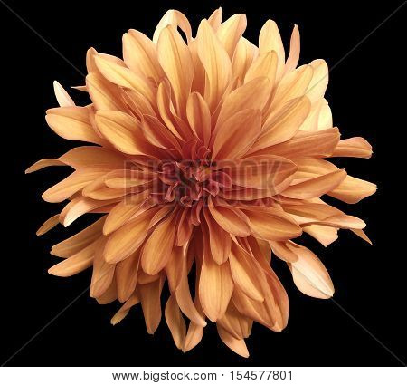 autumn flower on a black background isolated with clipping path. Closeup. big shaggy yellow-red flower. Dahlia.