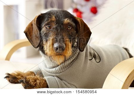 Closeup photo of cute dachshund in jumper lying in armchair.
