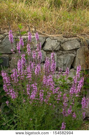 Beautiful purple loosestrife flower in nature background
