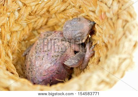 chick pigeon snuggled up in the nest