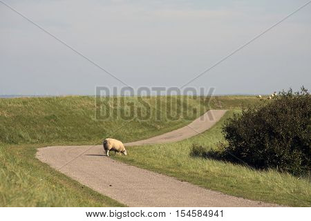 Sheep behind the dike on Mandø in the Danish Wadden Sea. Danish national park under UNESCO World Heritage.