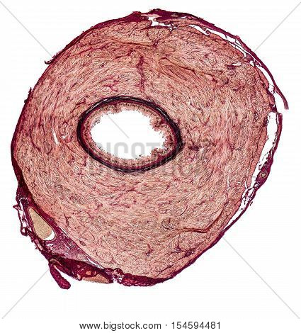 microscopic cross section showing the vas deferens of a rat
