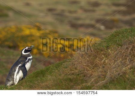 Magellanic Penguin (Spheniscus magellanicus) standing amongst spring flowering gorse bushes on Carcass Island in the Falkland Islands.