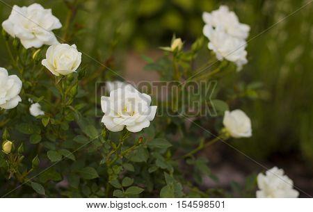 Small white roses flowers in summer garden