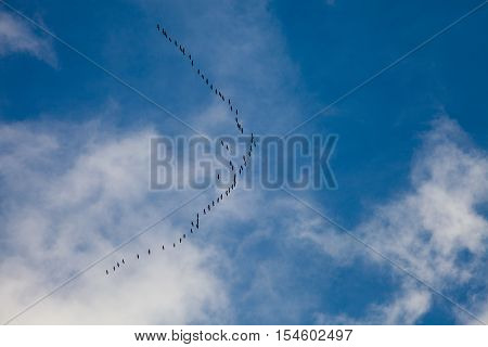 Flock of wild geese high in the sky migrate south in v formation in autumn