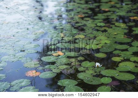 Landscape of beautiful water lily on the lake
