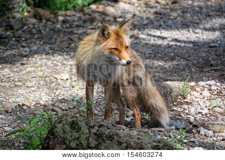 Young red fox very carefully looks somewhere.