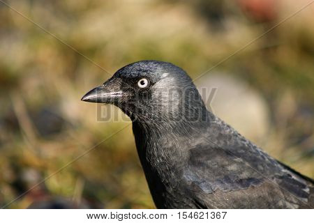 A juvenile Jackdaw in a patch of bright sunshine
