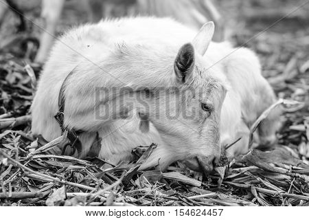 White goat at the village in a cornfield goat on autumn grass. Ranch or farm